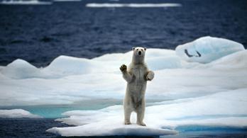 Háromezer jegesmedve él a Csukcs-tengeren