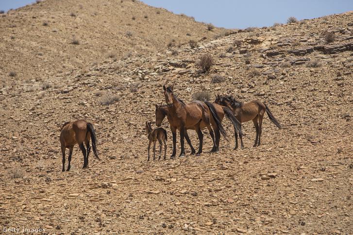Vadlovak a namíbiai sivatagban