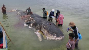 Műanyaggal volt tele egy elpusztult bálna gyomra