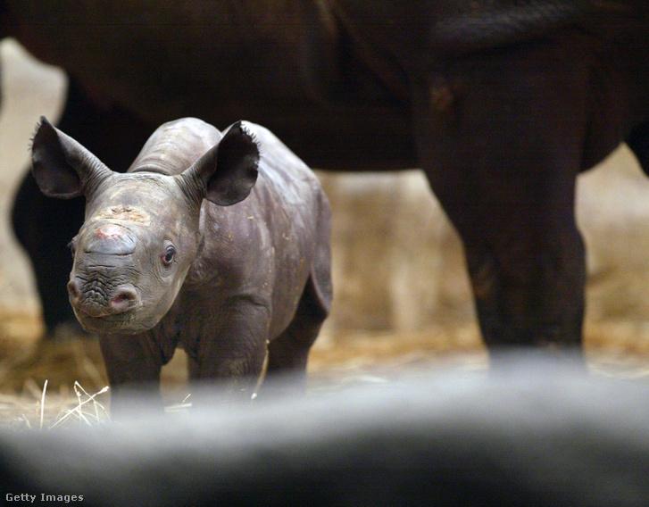 Állatkertben született keskenyszájú orrszarvú