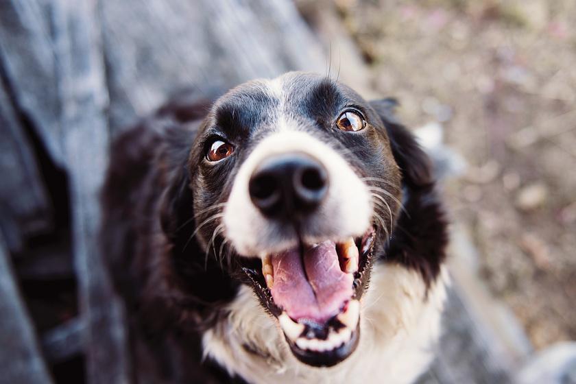 izgatott-kutya