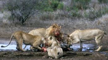 Az oroszlán és a tigris meglepően béna vadász