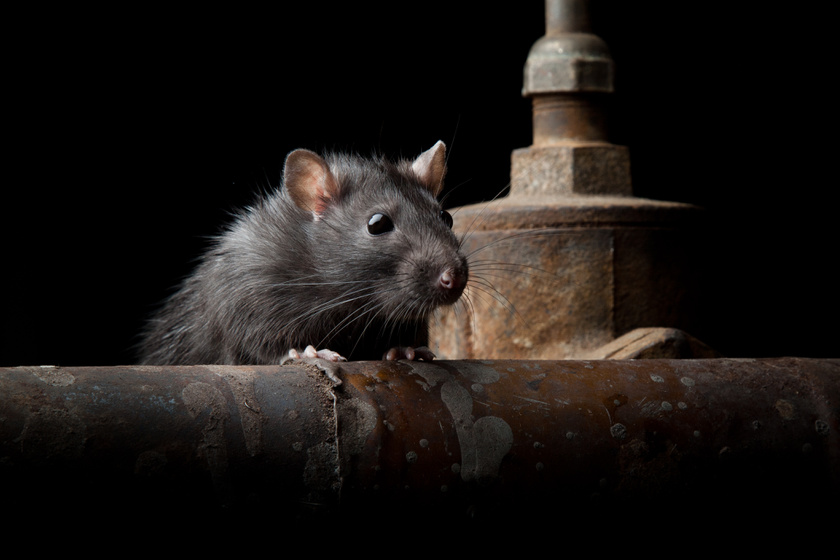 10 tipp egerek és patkányok ellen: mutatjuk, mit hogy csinálj a ház körül, hogy a rágcsálók ne költözzenek be