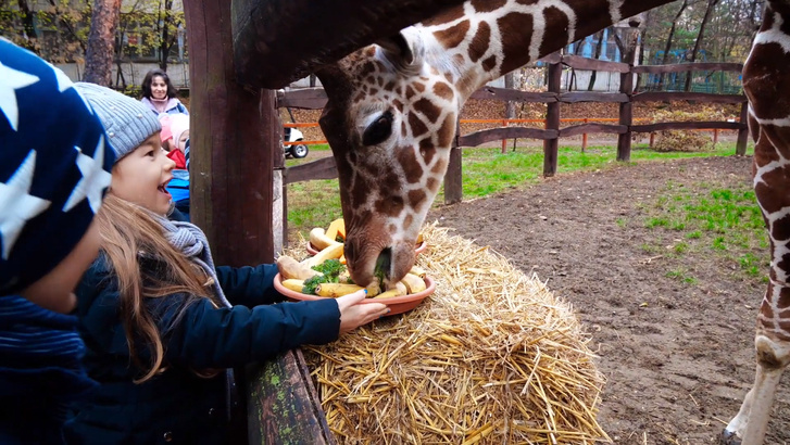 Jabari, az egyéves zsiráf