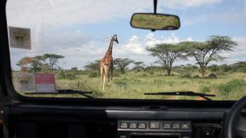 Programot indít a zsiráfok megmentésére Kenya