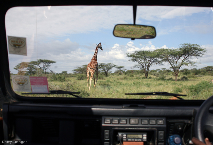 Zsiráf a Samburu Nemzeti Rezervátumban, Kenyában
