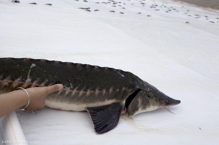Kínai tokhal