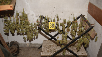 Marihuánaültetvényt találtak a rendőrök Domaszéken