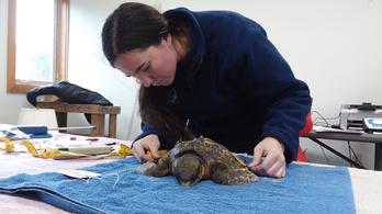 Tömegesen fagytak halálra a teknősök Amerika keleti partján