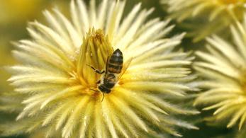 Egymillió méh pusztult el mérgezésben Dél-Afrikában