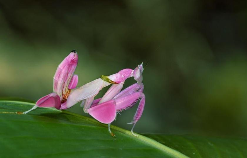 Az orchidea manó legszívesebben virágok között rejtőzködik, a sáskák többségétől eltérő módon ugyanis képes megváltoztatni a színét. Kutatások szerint ráadásul gyorsabban magához csalogatja a rovarokat, mint a növények.