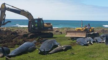 Újabb 51 cet pusztult el Új-Zéland partjainál