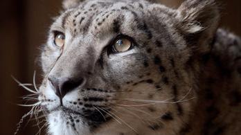 Agyonlőtték az állatkertből megszökött hópárducot Angliában