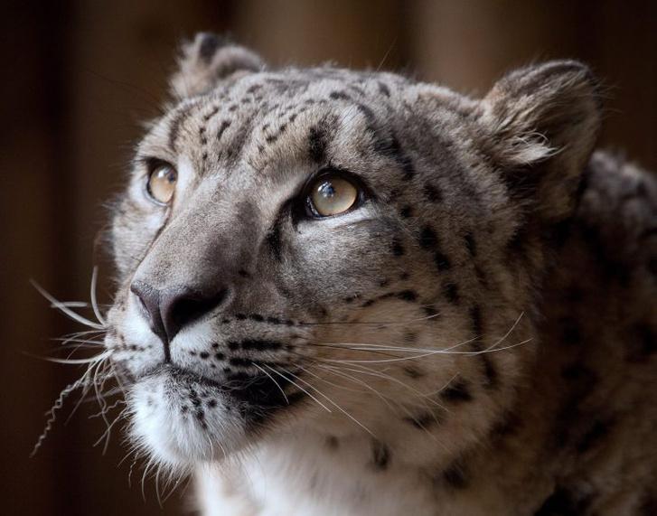 Snow-Leopard-photo-Margaash-2-739x580