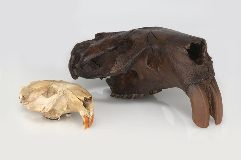 Amikor medveméretű hódok járkáltak a földön: a mai állatok gigászi őseit mutatjuk
