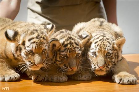 Virgil, Thrax és Manu, a Fővárosi Állat- és Növénykert hat hete született három szibériai kistigrise