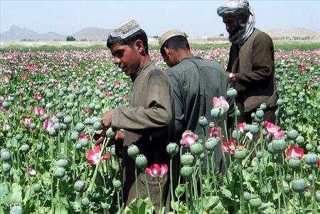Afgán gazdák máktejet gyűjtenek a kandahári körzetben fekvo Zadi Dustban