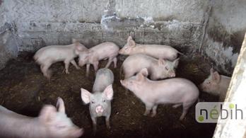Kacsatetemekkel etették a sertéseket egy Bács-Kiskun megyei gazdaságban