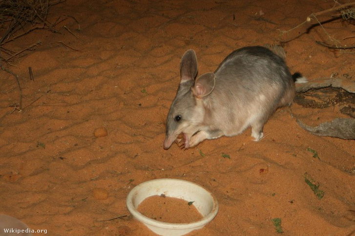 1280px-Easter Bilby