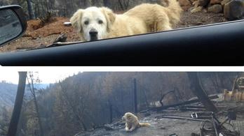 A kaliforniai tűzvész után egy hónapig őrködött egy kutya a ház romjai körül