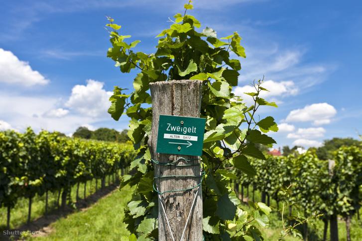 Zweigelt szőlő