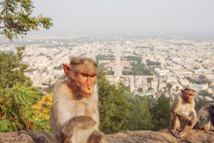 Rhesus majmok, Arunachala hegyen Tiruvannamalai, Tamil Nandu, Indiában