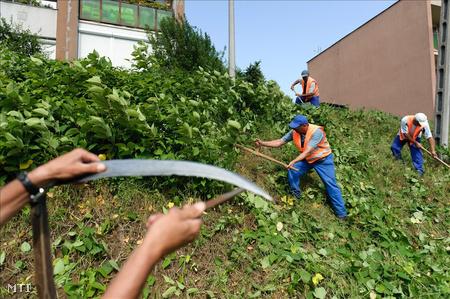 Közmunkások egy lakótelep környékét kaszálják