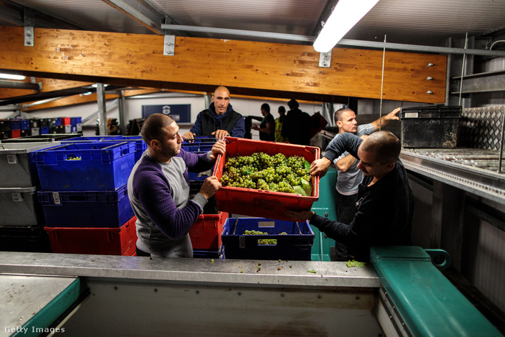 Bevándorló munkavállalók chardonnay szőlőt szüretelnek a Hambledon egyik szőlőjében 2018. október 3-án