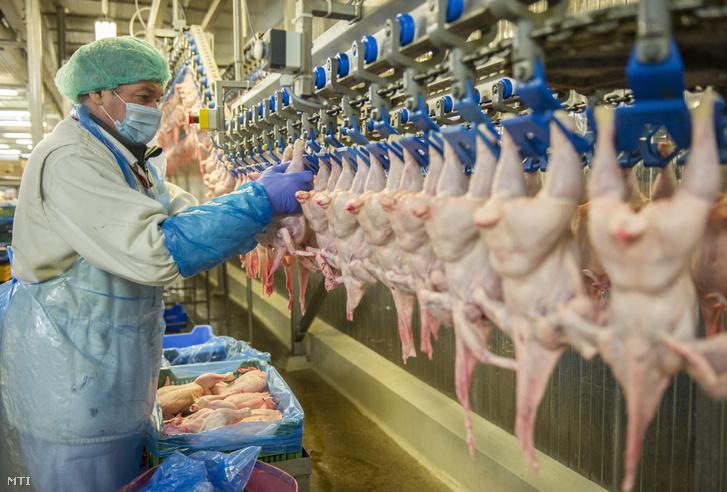 Csirkéket pakol a Hungerit Zrt. egyik dolgozója a szállítószalagra a cég szentesi üzemében 2013. július 25-én
