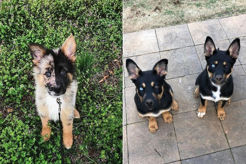 Tündéri kutya született két közkedvelt fajta keresztezéséből - Cukibb, mint a szülők
