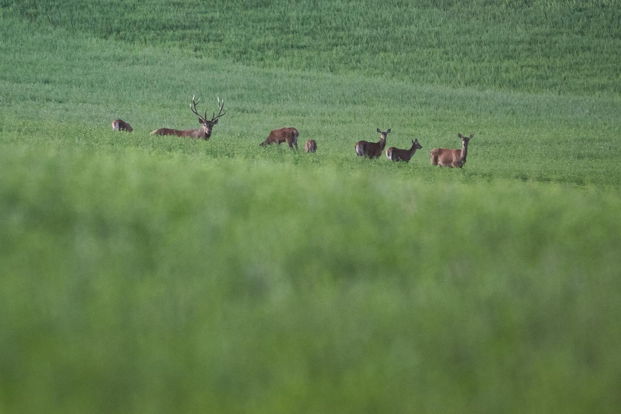 """A gímszarvas tehenek és bikák az év nagy részében külön csoportokban élnek. A párzási időszak közeledtével, a bikák egy tarvad-, vagyis tehenekből, ünőkből (fiatal tehén) és borjakból álló csapatot keresnek maguknak, és """"háremkövető üzekedési stratégiát folytatnak""""- magyarázza Dr. Náhlik András.  A hárem 2-3 vagy akár 20 tehénből is állhat, attól függően, hogy milyen az állomány sűrűsége és az úgynevezett ivararány. Majd megkezdődik az udvarlás."""