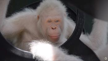 Szabadon engedik a hófehér orangutánt