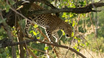 Leopárd ölt meg egy hároméves fiút Indiában