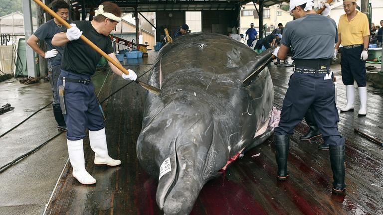 Január egytől retteghetnek a bálnák Japántól