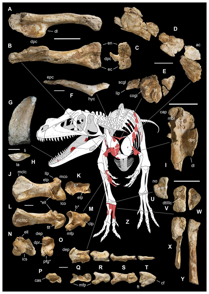 Az őshüllő megtalált csontjai közül néhány