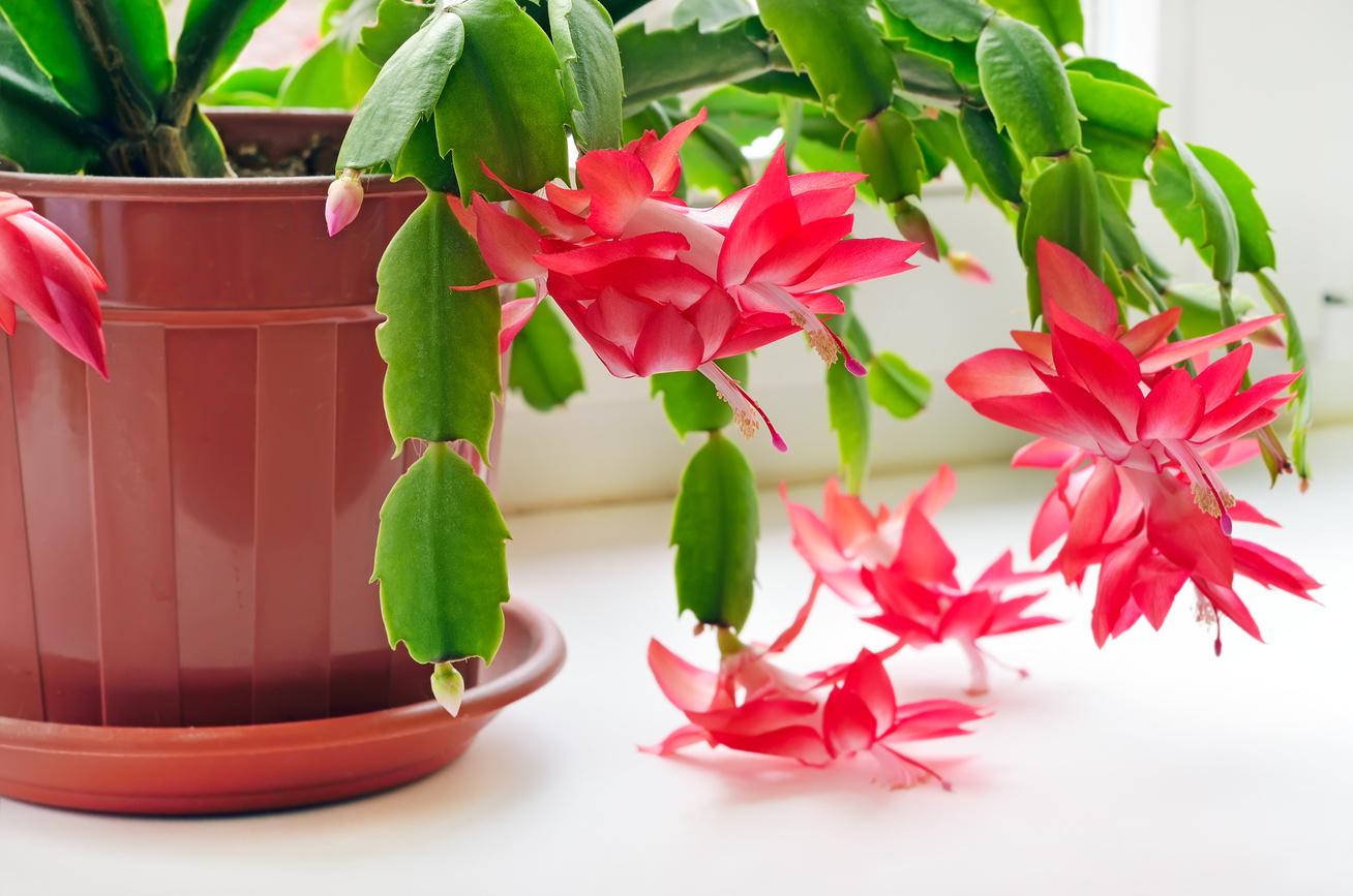 karacsonyi-kaktusz-1