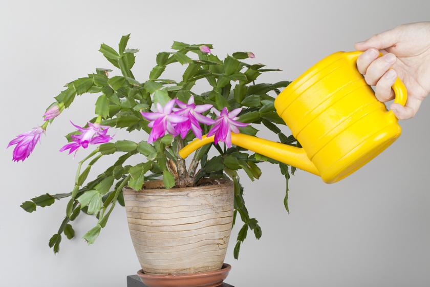 karacsonyi-kaktusz-2