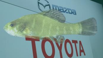 A Toyota és a Mazda hatmillió dollárt fizet a naphalak élőhelyének megőrzéséért