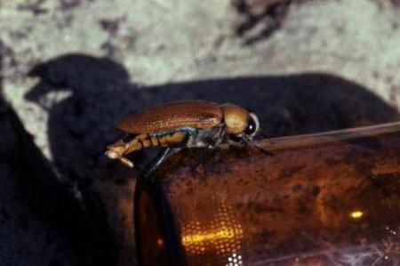Megtévesztett ékszerbogár