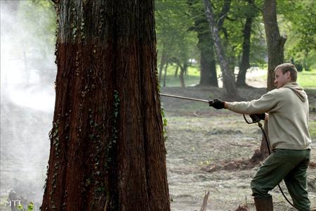 A Baptista Szeretetszolgálat munkatársa vegyszerrel tisztítja egy fa törzsét a vörösiszaptól a devecseri Esterházy-kastély parkjában.