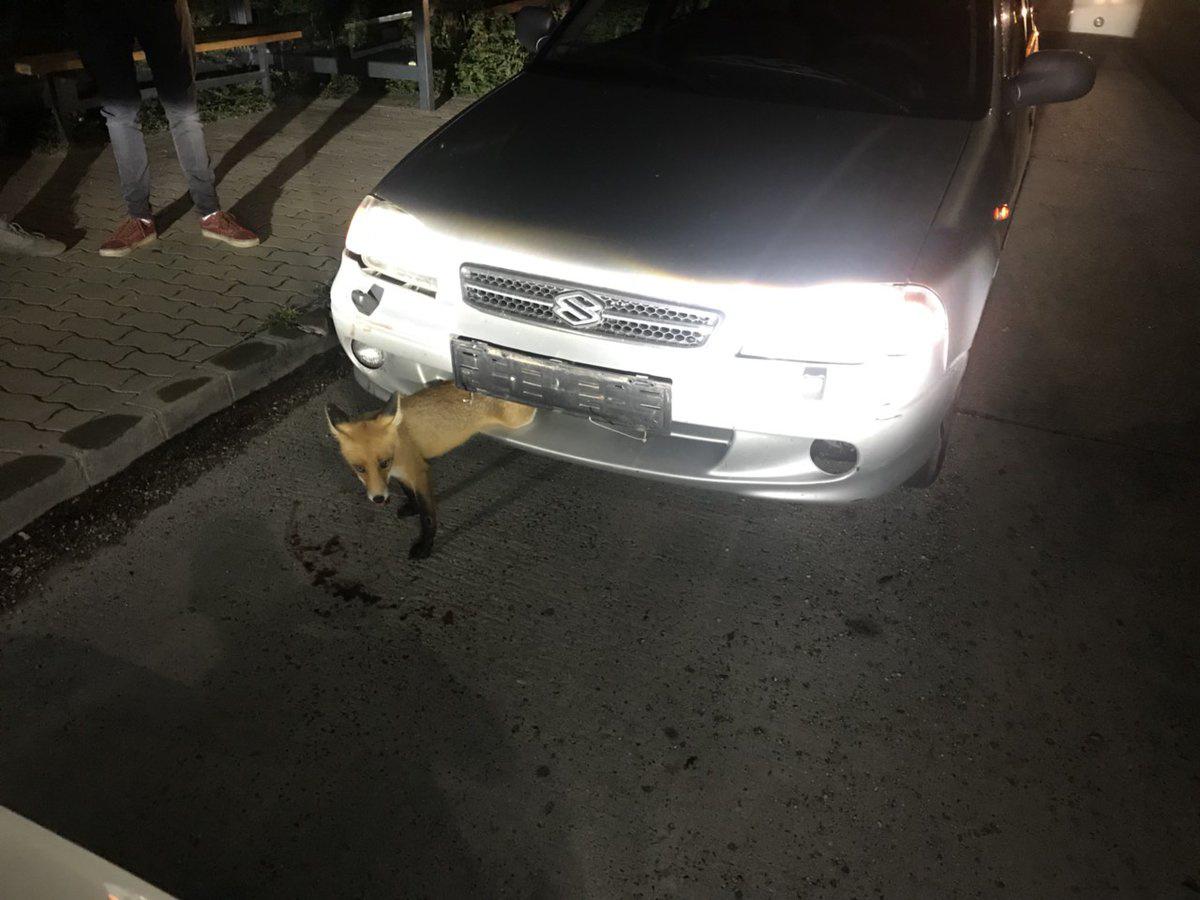 Sok a róka az utakon, sokat el is ütnek, de nem mindegyiknek van olyan szerencséje, mint a képen láthatónak. Annak ellenére túlélte a Suzuki halálos csókját, hogy beszorult a teste az autó elejébe. A rendőrök kiszabadították, a róka meg huss, beszaladt a telki erdőbe. Minden jó, ha a vége jó.