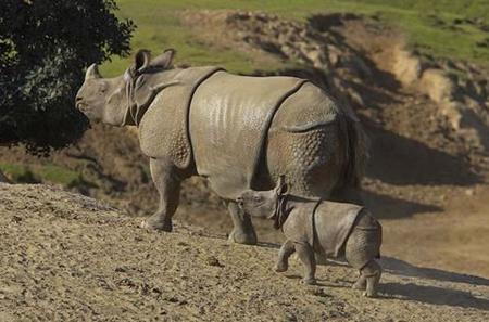 india rhino 2
