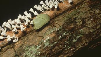 A levélnyíró hangyák rengeteg üvegházgázt termelnek