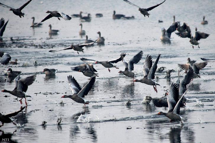 A tatai Öreg-tóról felszálló vadludak 2011. november 26-án