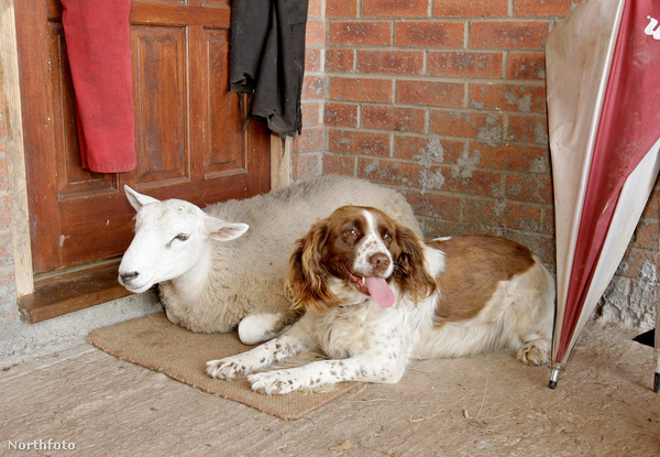 tk3s swns sheep dog 240068747