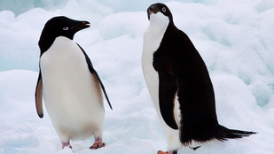 Miért nem fagy le a pingvinek lába?