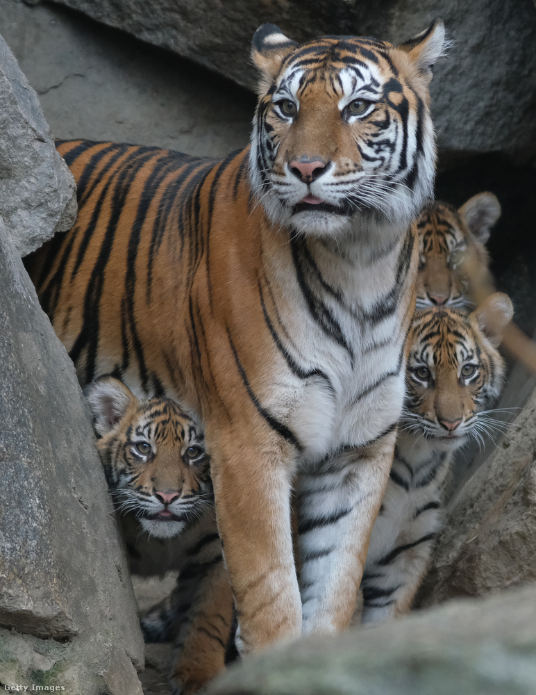 Valami szokatlant láttak meg a tigrisek január első hétvégéjén a berlini állatkertben.