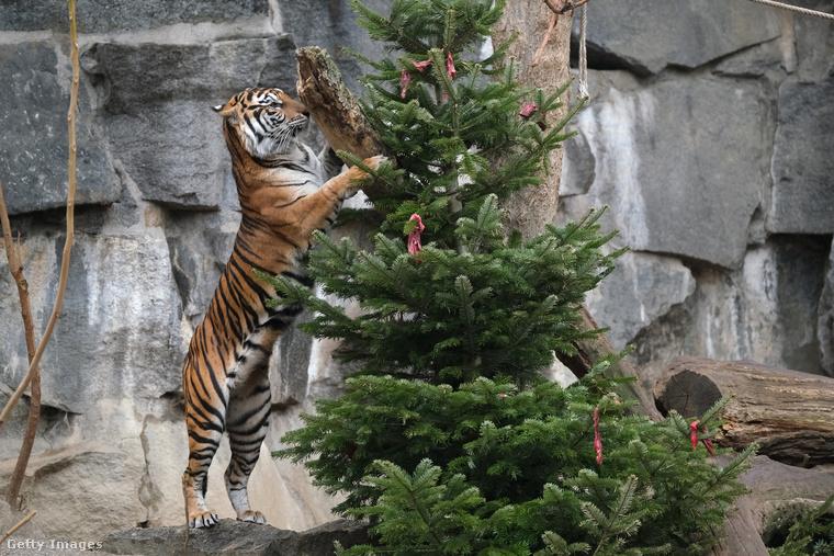 A fák húsdarabokkal voltak feldíszítve, szóval rögtön neki is láttak leszedni a karácsonyfát, amint az január elején szokás.