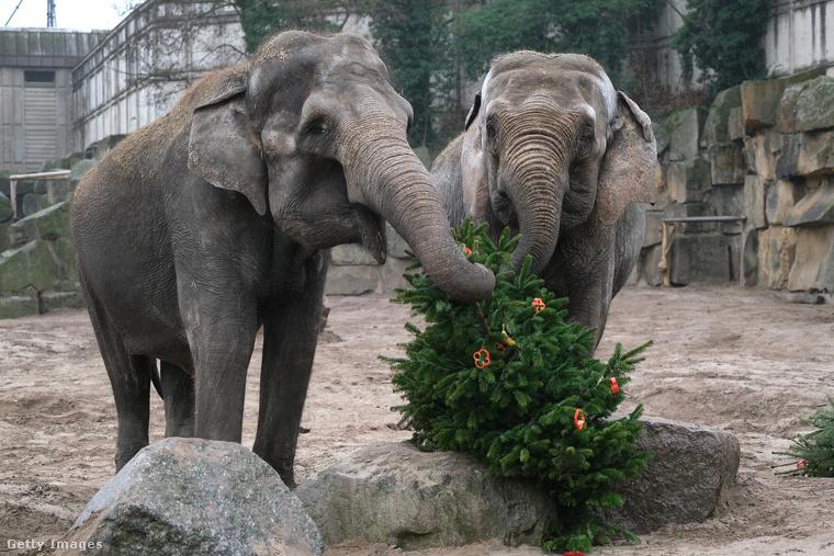 Az elefántok is örömmel láttak neki a kicsit késleltetett karácsonyozásnak, az ő fájukra például paprikakarikákat akasztottak.