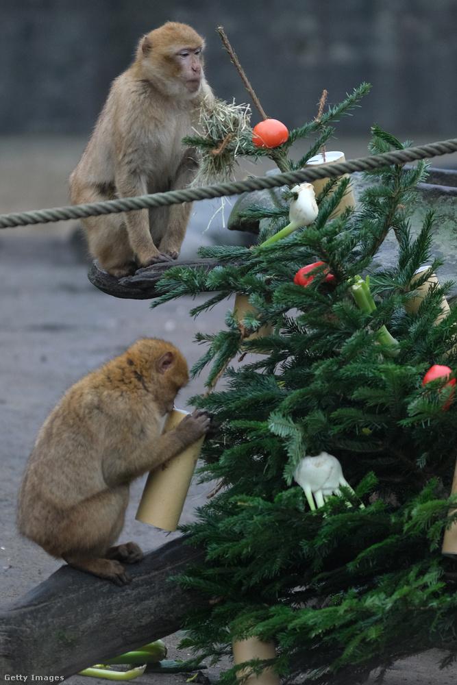 Körülbelül száz fa érkezett a két berlini állatkertnek, de karácsonyfának használt fenyőket nem fogadtak el, csak az árusoknál visszamaradt, eladatlan fákat.